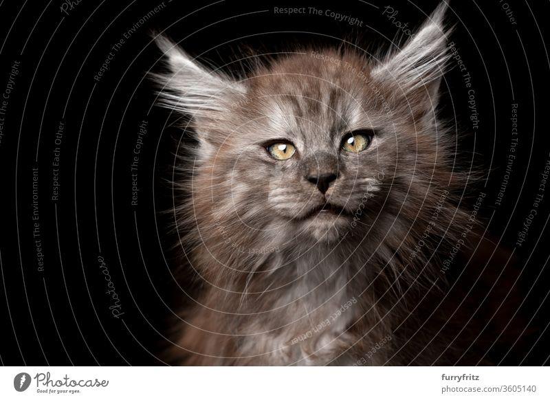 Maine Coon Kitten Portrait auf schwarzem Hintergrund Katze Haustiere Rassekatze maine coon katze Studioaufnahme schwarzer Hintergrund Textfreiraum ausschneiden