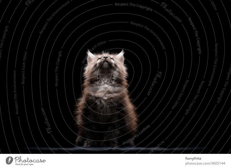 junges Maine Coon Kätzchen, das nach oben ins Licht blickt Katze Haustiere Rassekatze maine coon katze Studioaufnahme schwarzer Hintergrund Textfreiraum