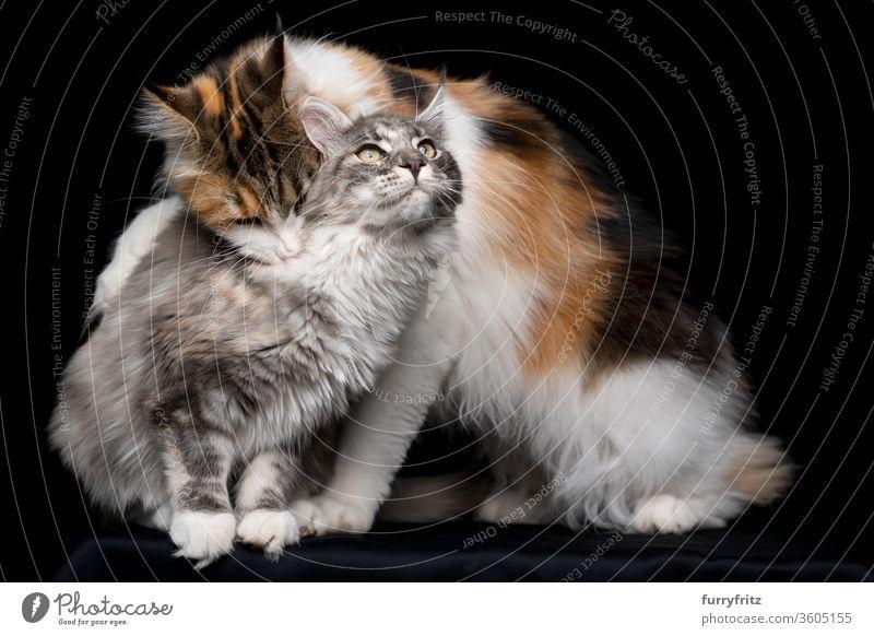 maine coon katze beißt anderer katze in den nacken Katze Haustiere Rassekatze Studioaufnahme schwarzer Hintergrund Textfreiraum ausschneiden schön niedlich