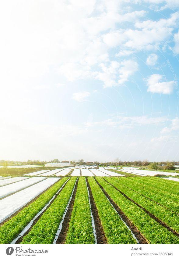 Grüne Bauernkartoffelfelder an einem sonnigen Morgen. Agrofaser-Spinnvlies-Reihenbeläge. Landwirtschaftliche Industrie, die Kartoffeln und Gemüse anbaut. Biologische Landwirtschaft in Europa. Schöne Landschaft auf dem Land