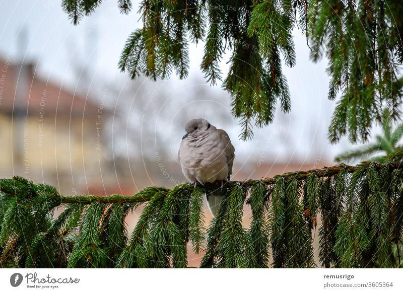 Nahaufnahme einer eurasischen Halsbandtaube, die auf einem Tannenzweig sitzt. Streptopelia decaocto. 2012 Arad Rumänien Tier Vogel Schnabel Ast Kragen