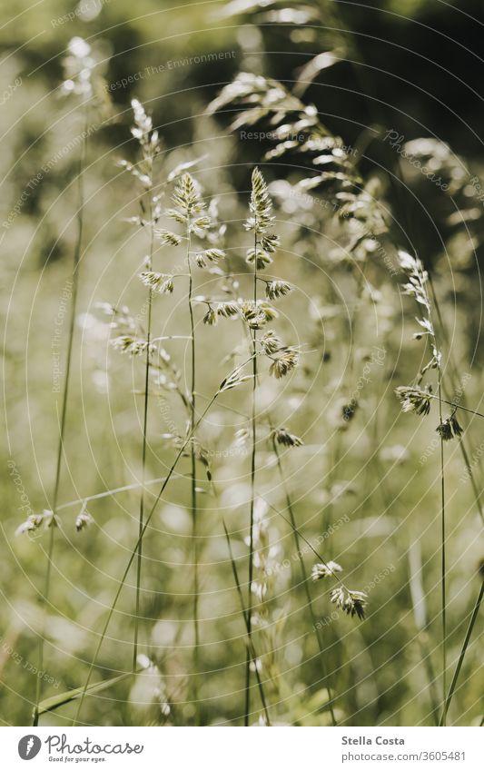 Feld Makro Nahaufnahme bienenwiese blumenfeld detail detailaufnahme grün nachhaltig natur weizen ökologisch Natur Pflanze Sommer Weizen Wiese Außenaufnahme