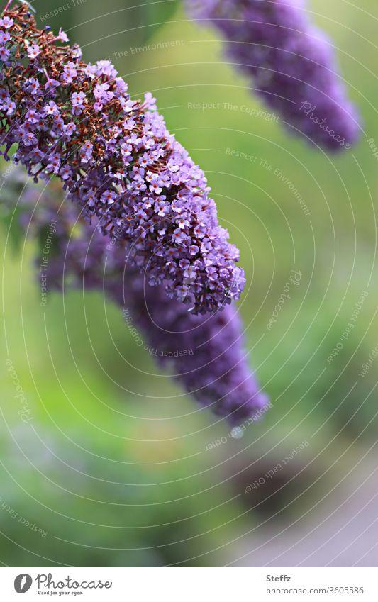 Sommerflieder, ein Schmetterlingsmagnet lila violett Pflanze Duft Sommerblumen Schmetterlingsflieder duftend natürlich Sträucher Buddleja Natur