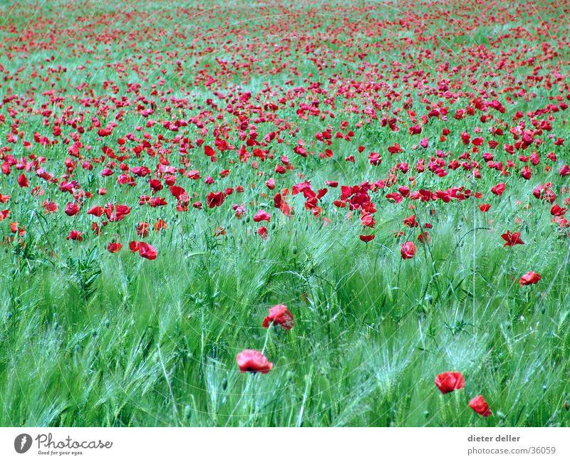 Mohn im Feld grün rot Unendlichkeit Blume Wiesenblume Sommerblumen