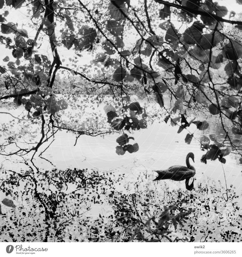 Schwebender Schwan See draußen verträumt Blätter windstill geheimnisvoll Bäume Wasser Wasseroberfläche Reflexion & Spiegelung Wasserspiegelung