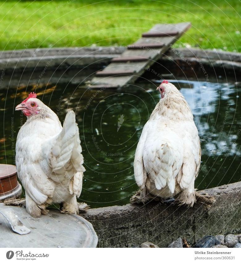 AST 6 Inntal / Frühstückseierquelle Natur Tier Gras Frühling Glück Gesundheit Garten natürlich warten stehen Feder beobachten Flügel Neugier Landwirtschaft