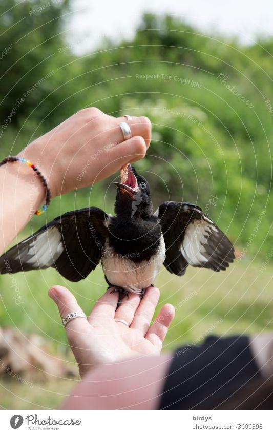 Junge Elster wird von Menschenhand aufgezogen. Verwaister Jungvogel füttern Fressen Vogel handzahm Wildvogel Aufzucht Hände Hunger Futter Schnabel