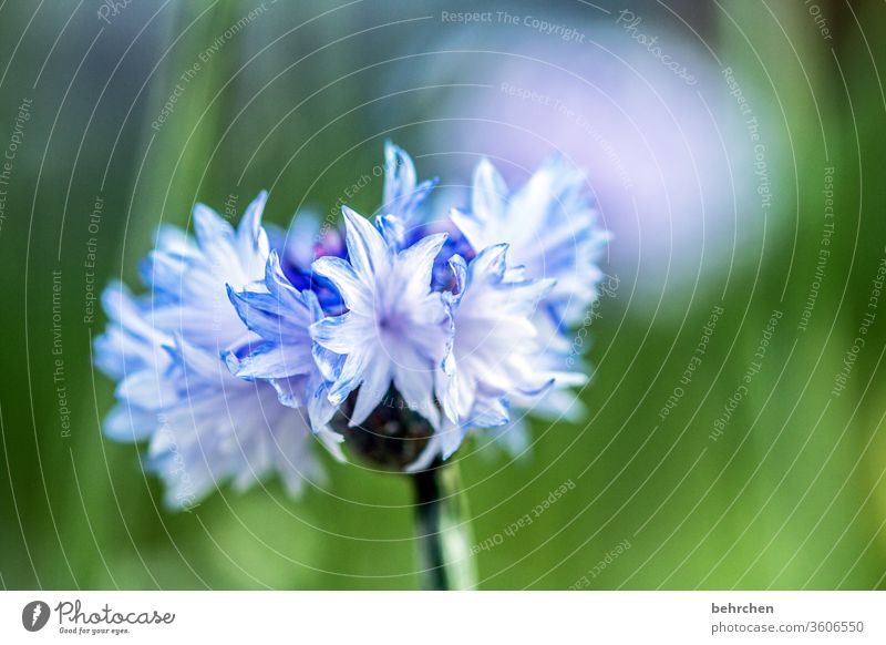 dankeschönblümchen... blau hellblau Kornblume Sommer Sonnenlicht Pflanze Außenaufnahme Farbfoto Schönes Wetter sommerlich Wärme Wiese Nahaufnahme Detailaufnahme