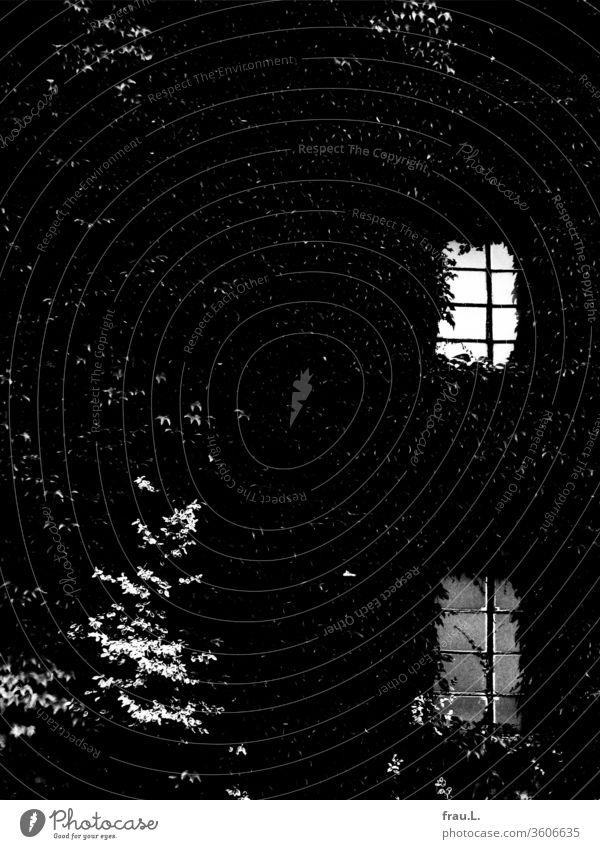 In der efeubewachsenen alten Brennerei geisterte ein seltsames Licht hinter den Fenstern. Efeu Dorf Degersen Außenaufnahme Wand