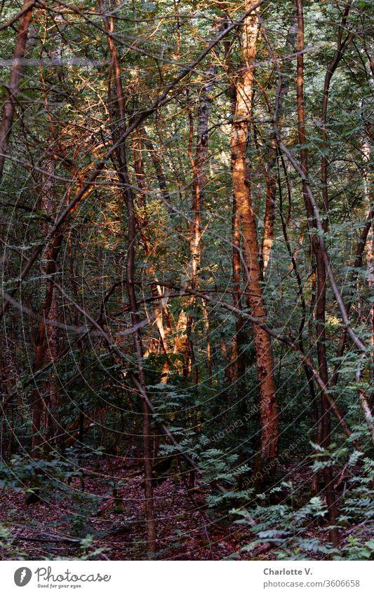 Lichtblicke | Die Abendsonne fällt auf einzelne Baumstämme im Wald und lässt sie leuchten Sonnenlicht Lichterscheinung Lichteinfall Lichtspiel Pflanze Bäume