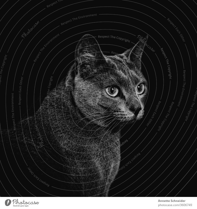 Katze Portrait Blick in die Kamera Tierporträt Hintergrund neutral Innenaufnahme Schwarzweißfoto Zufriedenheit Haustier elegant ästhetisch
