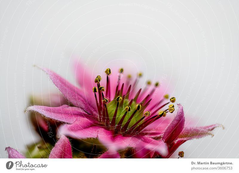 Blühendes Sempervivum, Hauswurz, Closeup Blüte blühen Sorte Sukkulente wasserspeichernd winterhart Crassulaceae Dickblattgewächse blühend Staubbeutel Stempel