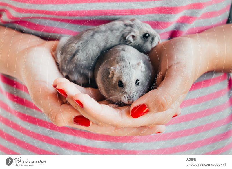 Zwerghamsterpaar in Mädchenhand Hamster Kind Hände Haustier Tier Russischer Hamster Spielen zwei Beteiligung Spaß Liebe grau Paar Kindheit spielen Lifestyle