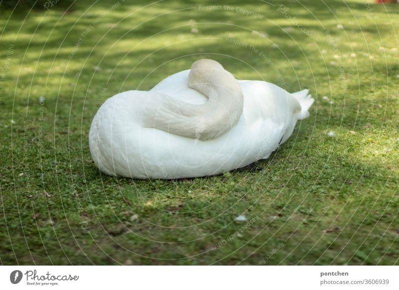 Schlafender Schwan von hinten liegt auf einer Wiese. Kopf  und  Hals nah am Körper. Weißes Gefieder. gefieder wiese schlafen ausruhen Tier schönheit natur