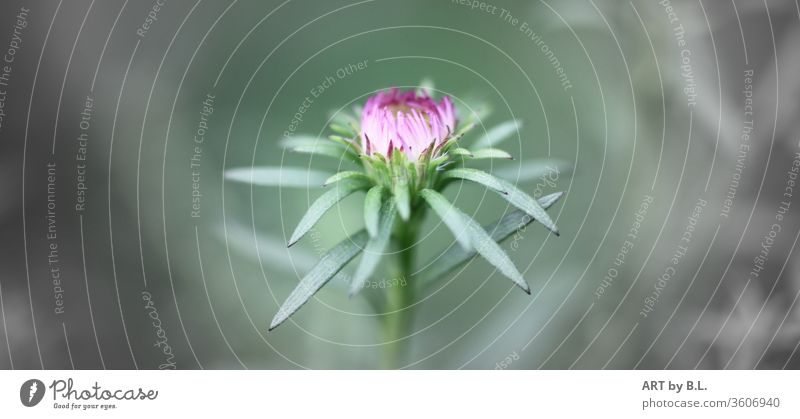 kurz vor dem Aufblühen blume blüte jnospe garten gärtnerei flower klein zart filigran stolz