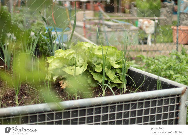 Ein Hochbeet mit Salat und Kräutern in einem Schrebergarten. Selbstversorger. salat kräuter schrebergarten anpflanzen gartenarbeit grün Natur selbstversorger