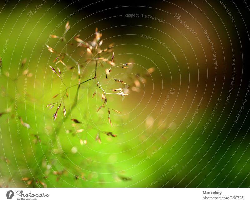 Zart geblüht Umwelt Natur Landschaft Pflanze Sommer Schönes Wetter Gras Farn Blüte Grünpflanze Wiese Feld Blühend natürlich braun mehrfarbig gelb gold grau grün