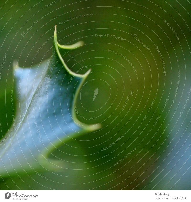 grünlich spitz gewachsen Umwelt Natur Landschaft Pflanze Sommer Schönes Wetter Baum Blatt Grünpflanze Park Wald bedrohlich eckig natürlich Spitze stachelig blau