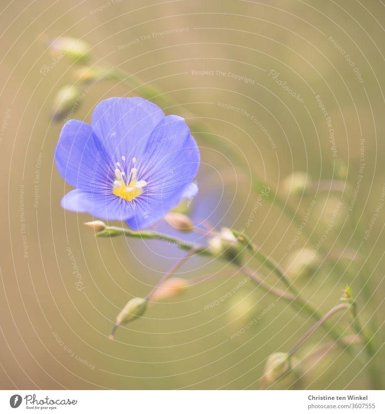 Wunderschöne hellblaue Leinblüte / Flachs / Linum / flax Leingewächse Blüte blaue Blüte Natur Pflanze Umwelt blühend wunderschön himmelblau Sommer Garten Staude