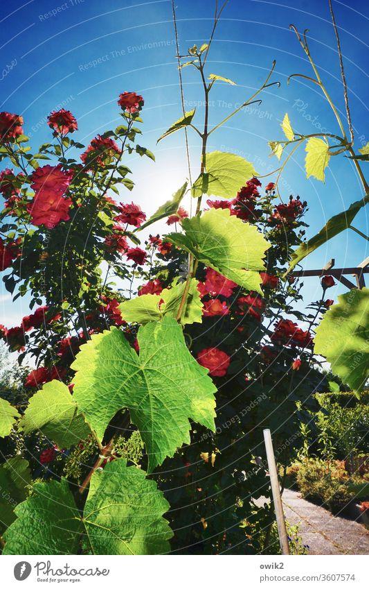 Bunt ist die Welt Umwelt Natur Pflanze Himmel Schönes Wetter Rose Wein Weinranken Blatt Garten leuchten hell Blühend Farbfoto Außenaufnahme Nahaufnahme