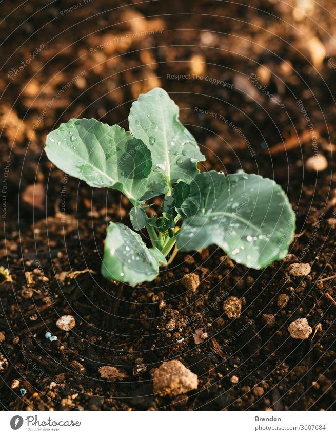 Natürlicher bewässerter Garten, in dem Brokkoli mit Wasser auf den Blättern wächst Pflanze grün Ackerbau Blatt Gemüse Natur organisch Keimling Boden Wachstum