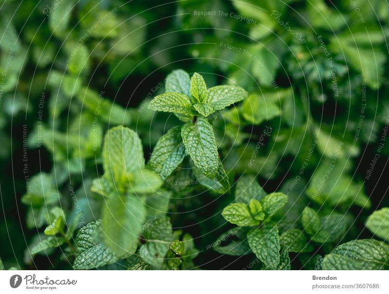 Minze im selbstgemachten Kräutergartenbeet Ackerbau Aroma aromatisch Hintergrund Melisse schließen Nahaufnahme Farbe Detailaufnahme Geschmack Flora Laubwerk
