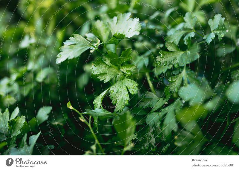 Kräutergarten mit Petersilie in natürlicher Gartenbox im Hinterhof grün Pflanze Blatt Kraut frisch Lebensmittel Blätter Natur Gewürz Nahaufnahme organisch