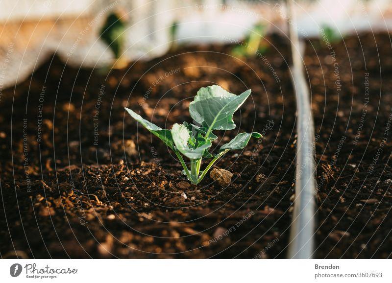 Natürlicher bewässerter Garten, in dem Brokkoli mit Wasser auf den Blättern wächst Pflanze grün Wachstum Boden Keimling Blatt Natur Ackerbau sprießen