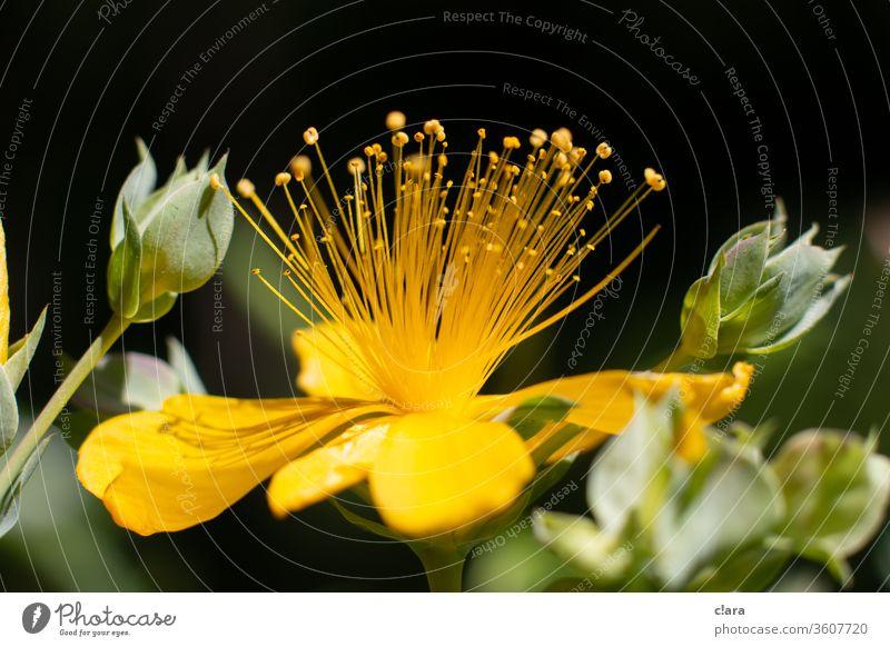 Johanneskraut Blume gelb Blüte Pflanze Makroaufnahme Nahaufnahme Stempel Naturexplosion