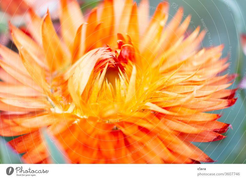 Trockenblume orange gelb Blüte Nahaufnahme Pflanze Blume trocken Nahaufnahme Blume
