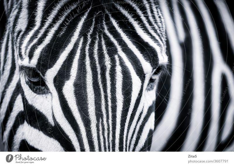 Detaillierte Schwarz-Weiß-Nahaufnahme eines Zebras schwarz weiß detailliert Afrikanisch Monochrom Tier wild Auge Fell streifen Tierwelt Pflanzenfresser Kopf