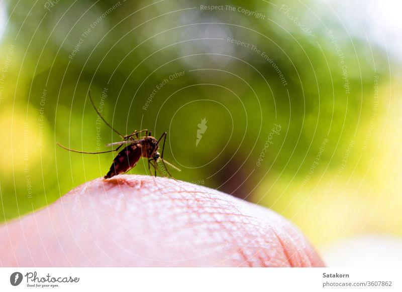 Moskitos stechen die Hand, die menschliches Blut saugt Biss Wanze Haut lutschen Insekt Schädling unhygienisch Natur Tier Krankheit füttern Seuche Malaria