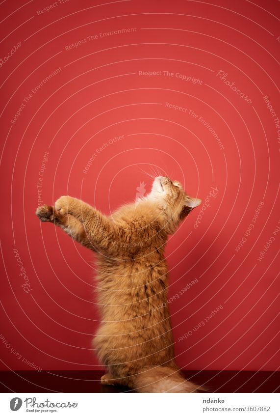 erwachsene rote Katze springt und zieht ihre Pfoten auf rotem Grund hoch bezaubernd Tier schön groß züchten neugierig niedlich heimisch Gesicht katzenhaft