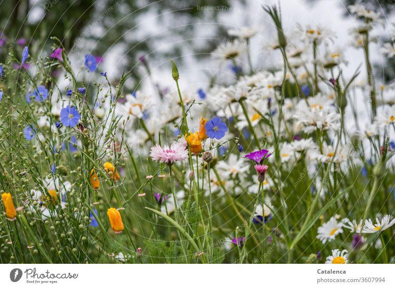 Eine bunte Blumenwiese Wildblumen Wiese Natur Pflanze Blühend Frühling Blüte Garten natürlich duftend Grün Blau Orange Rosa Leinen Margarite Mohn