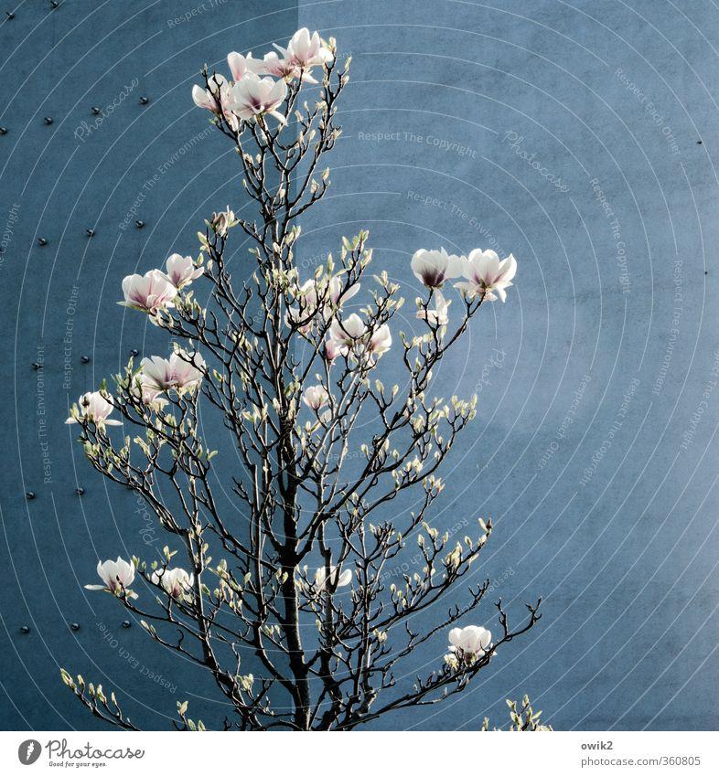Frühblüher Natur schön Pflanze Umwelt Wand Mauer Blüte hell Treppe Klima Schönes Wetter hoch Blühend Zweige u. Äste Wildpflanze Magnolienbaum