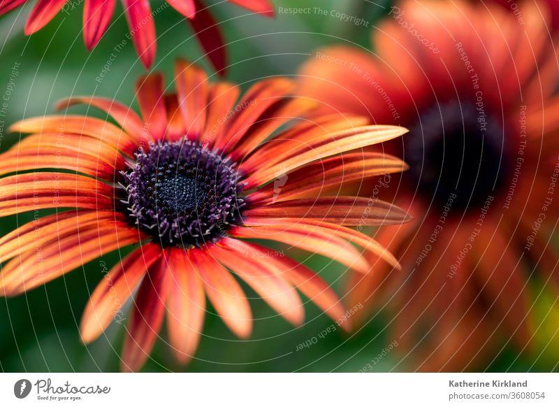 In einem Sommergarten blüht eine leuchtend orangefarbene afrikanische Gänseblümchenblume. grün Garten geblümt rot Afrikanisch Blume Margeriten Gartenarbeit hell