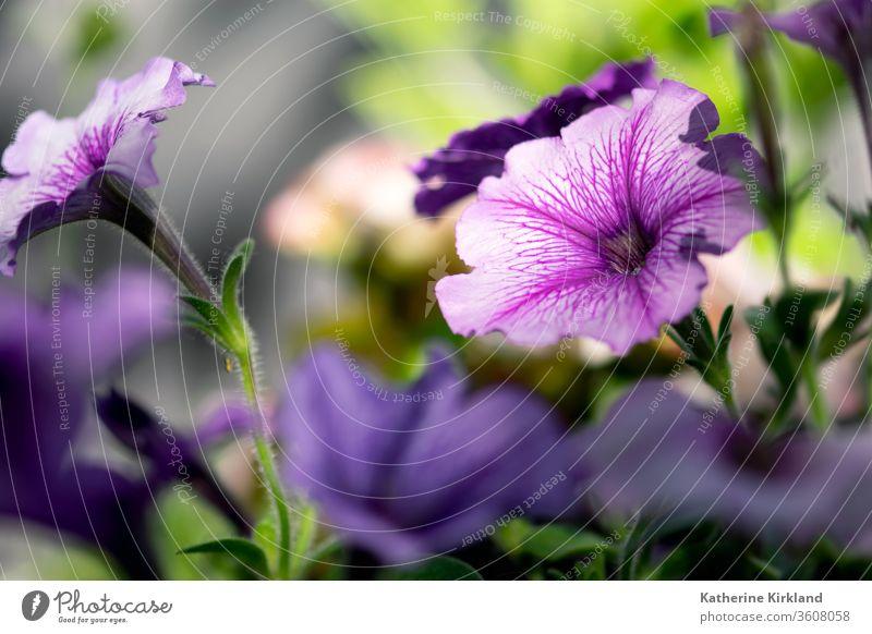 Violette Petunien blühen in einem Sommerblumengarten. Blume geblümt Blütezeit purpur Garten Gartenarbeit Textfreiraum horizontal Blütenblatt Überstrahlung