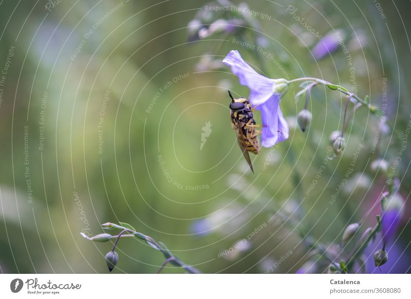 Die Schwebefliege rastet auf einer Blüte des Leinen Natur Flora Pflanze Flachs Insekt Tier rasten fressen blühen verblühen Braun Grün Lila Garten Sommer Tag