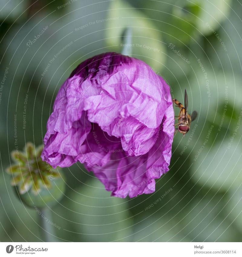 lila Mo(h)ntag - frisch aufbrechende faltige lila Mohnblüte mit Schwebfliege Orientalischer Mohn Papaver orientale Garten Blüte Insekt Mohnkapsel Blume Pflanze