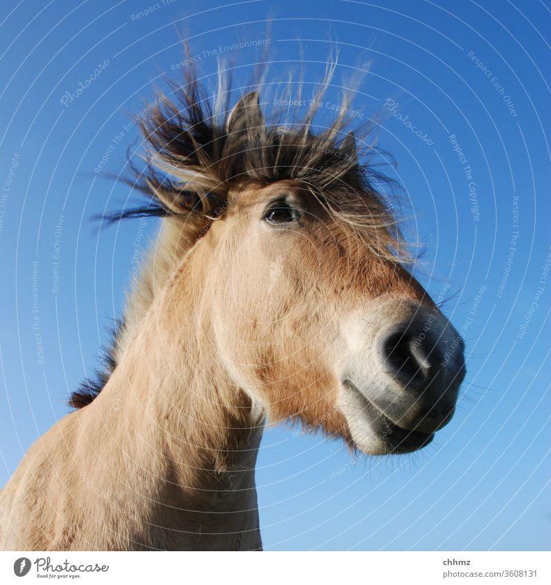 Es windet Pferd Ponny braun Nüstern Säugetier Himmel Mähne Maul Sturm Pferdekopf Sturmfrisur Tiergesicht Tierporträt blau Außenaufnahme Tag Menschenleer Weide