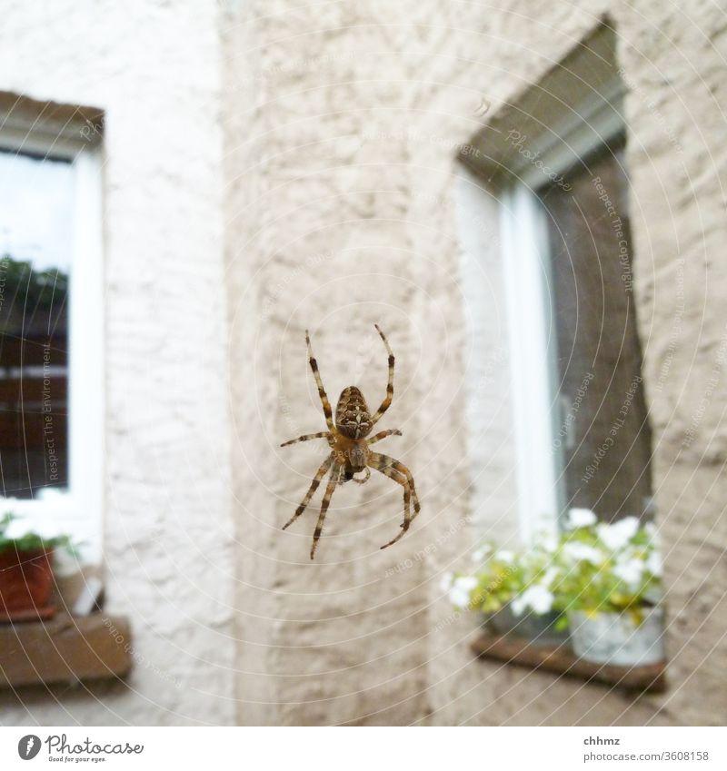 Hinterhofidylle Spinne Kreuzspinne Spinnennetz Nahaufnahme Tier Fassade Wand Fenster hängen rumhängen Tierporträt Blumentopf Spinnenbeine spinnen spinnenwebe