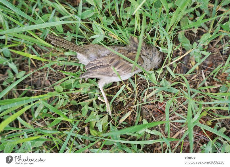 Draufsicht auf einen toten Sperling im Gras Spatz Wiese toter Vogel Opfer Beutetier Tod Nahaufnahme feder Ende Natur Traurigkeit Totes Tier Flügel Trauer
