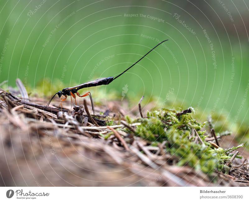 Weibchen der Holzschlupfwespe rotbeinige holzschlupfwespe ephialtes manifestator insekt ichneumonidae holzwespe parasit eiablage totholz taillenwespe