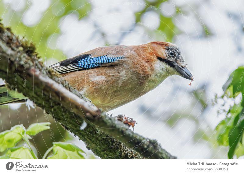 Fressender Eichelhäher im Baum Garrulus glandarius Tiergesicht Kopf Schnabel Auge Flügel Feder gefiedert Vogel Wildtier Blatt Zweige u. Äste beobachten nah