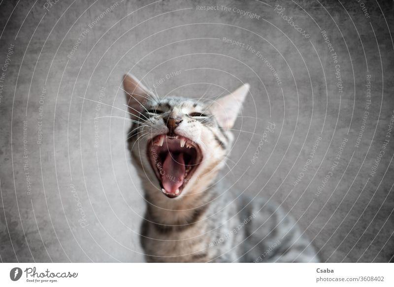 Katze gähnt mit offenem Mund und geschlossenen Augen gähnend Kätzchen Katzenbaby katzenhaft Haustier Tier Zähne Zunge müde lustig Porträt Schmusekatze heimisch