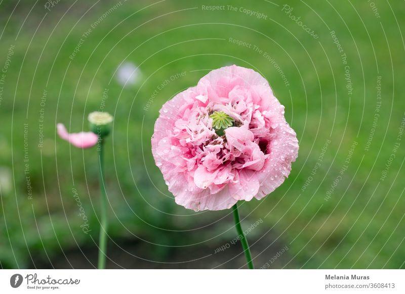 Rosa Mohnblume nach Regen im Garten. Blütenkopf mit Wassertropfen in voller Blüte, Nahaufnahme. schön Schönheit Blütezeit Überstrahlung Blühend botanisch