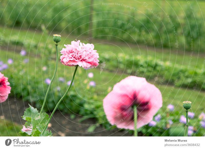 Rosa Mohnblumen im Garten. Hintergrund schön Schönheit Blütezeit Überstrahlung Blühend botanisch Botanik hell Nahaufnahme Farbe farbenfroh Textfreiraum filigran