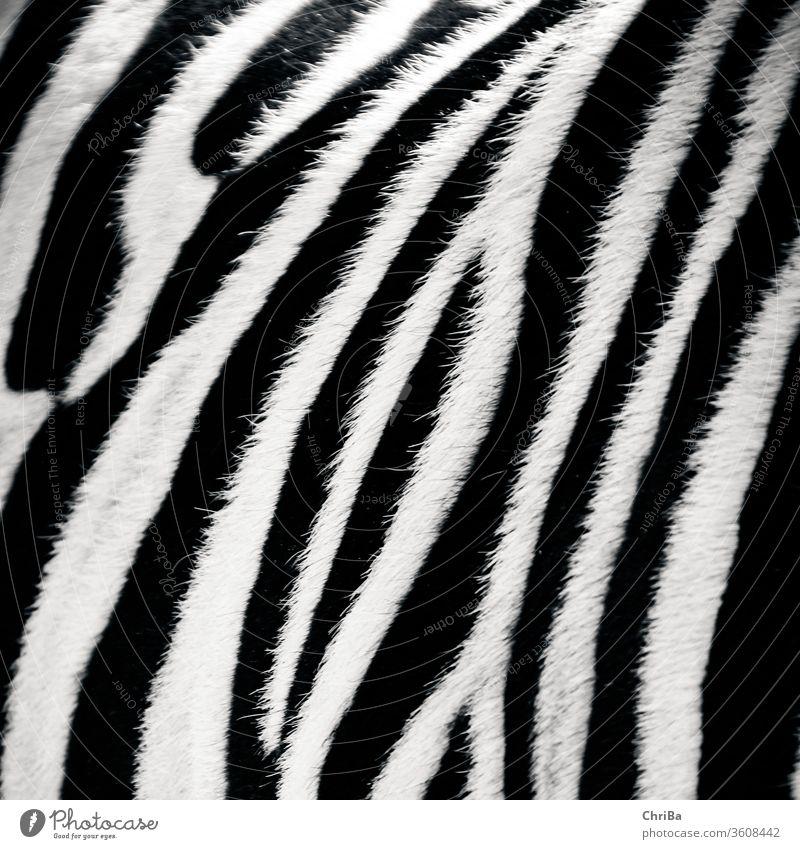 Zebra ganz nah zebra Fell zebrafell rau schwarz schwarzweiß gestreift tier nahaufnahme weich muster natur Wildtier Zoo Außenaufnahme Säugetier Detailaufnahme