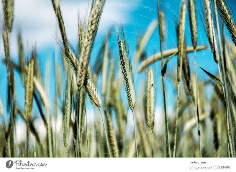 systemrelevant | brot für die welt Feld Getreide Wolken Himmel Hafer Weizen Roggen Gerste Getreidefeld Sommer Landwirtschaft Ähren Natur Kornfeld Lebensmittel