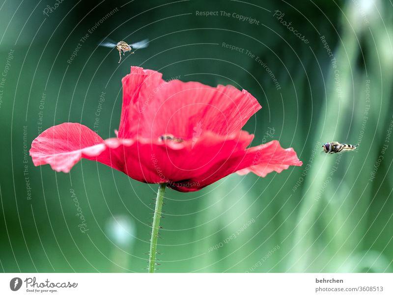typischer mo(h)ntagsverkehr Nahaufnahme Wiese schön Nutzpflanze Licht Landschaft Blütenblatt Menschenleer Umwelt Wärme Wildpflanze Flügel fliegen Biene Hummel